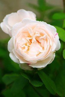 Delicata rosa tea in giardino rosa delicata profondità di campo estate