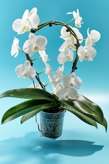 Delicata orchidea bianca su sfondo azzurro cielo.