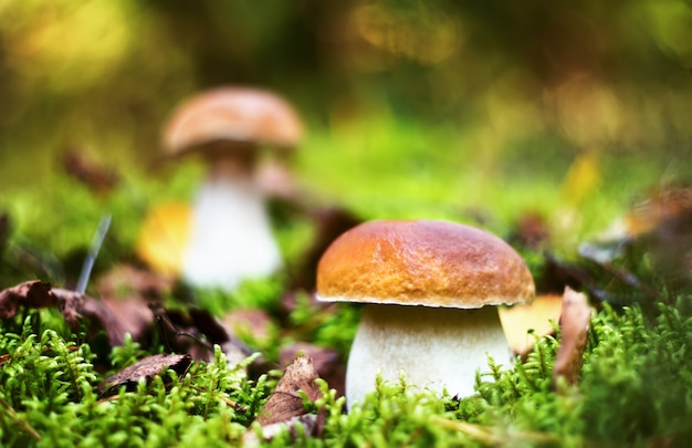 Funghi porcini deliziosi in foresta