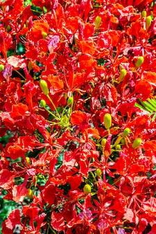 Delonix regia. frammento di una corona in fiore di un albero. avvicinamento. brasile. pantanal. sud america.