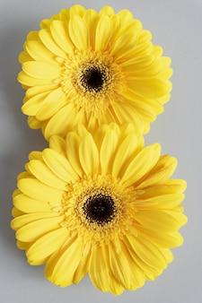 Dimostrazione di colori di tendenza 2021: grigio e giallo. bellissimi fiori di gerbera su sfondo grigio con copia spazio. fiore numero otto.