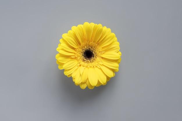 Dimostrazione di colori di tendenza 2021: grigio e giallo. bellissimi fiori di gerbera su sfondo grigio con copia spazio.