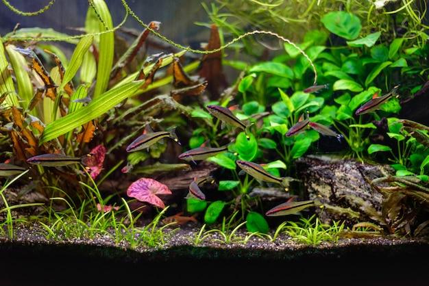 Denisoni barbus (puntius denisonii, sahyadria denisonii) gruppo di pesci in acquario d'acqua dolce.