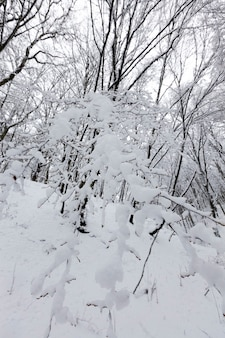 Fitta foresta in inverno, gli alberi nella foresta o nel parco sono coperti di neve in inverno