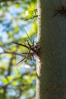 Dettaglio delle spine dell'acacia isolate su un fondo naturale e che crescono dal tronco di albero.