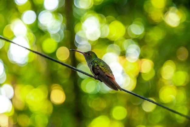 Dettaglio di un bellissimo colibrì verde sul lago yojoa. honduras