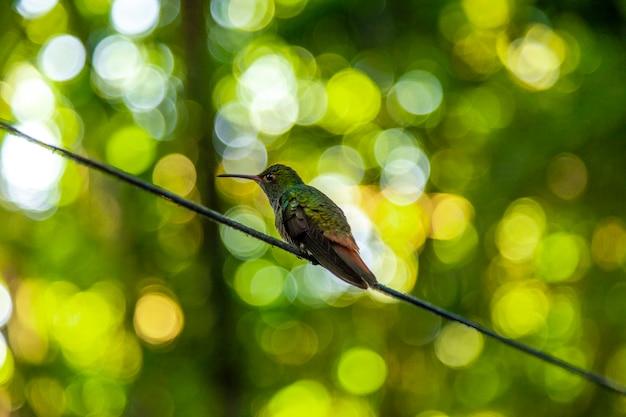 Dettaglio di un bellissimo colibrì sul lago yojoa. honduras