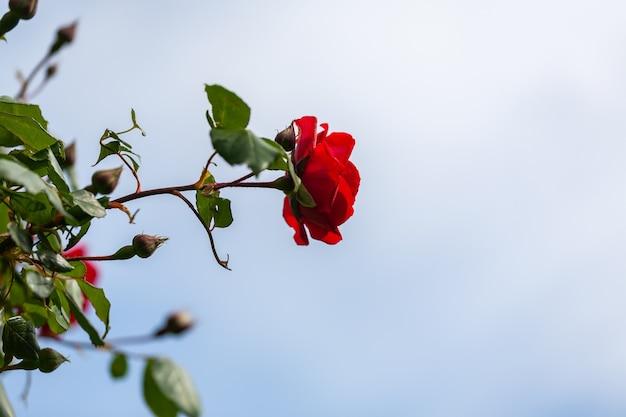 Particolare di una bellissima rosa rossa isolata dallo sfondo