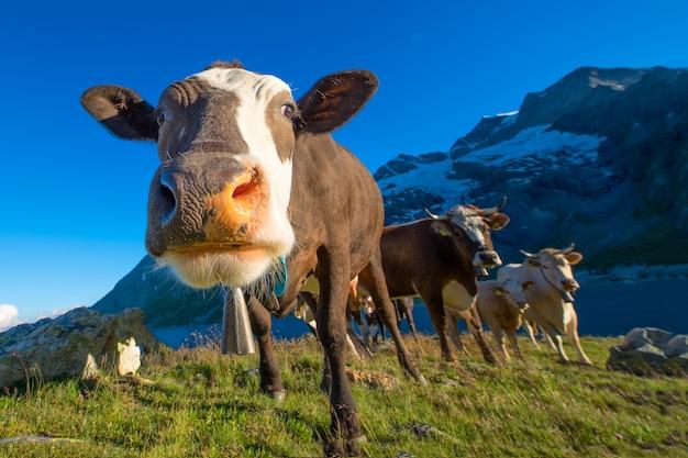 Dettaglio di una mucca mentre al pascolo con altri sulle alpi svizzere