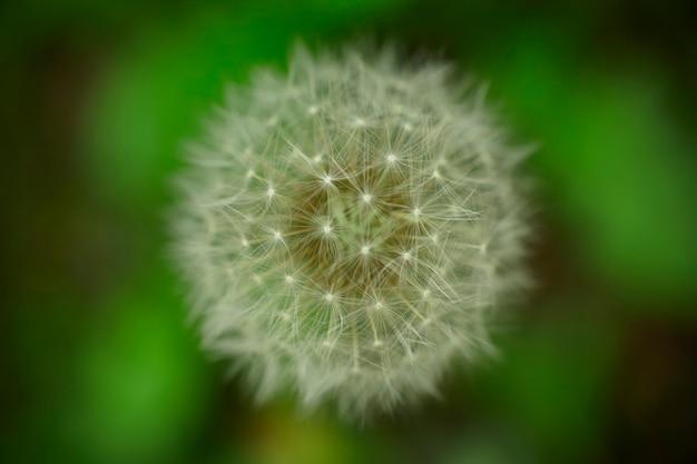 Particolare di un fiore di tarassaco nel suo periodo di infruttiscenza in cui sviluppa numerose trapunte che servono a portare i semi nell'ambiente grazie alla forza del vento.