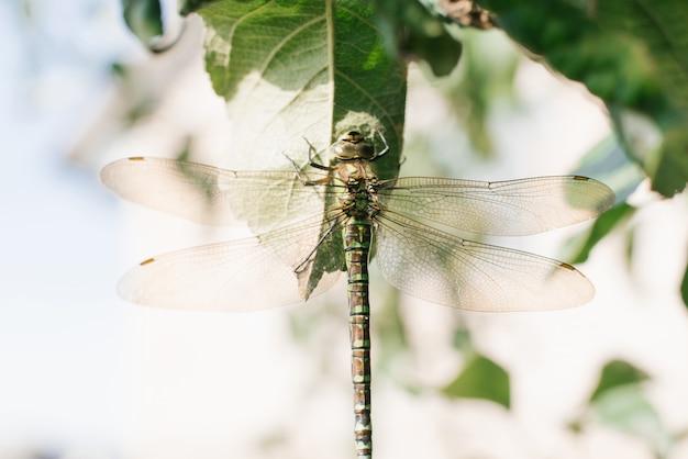 Dettaglio della libellula. l'immagine della libellula è selvaggia con sfocatura dello sfondo