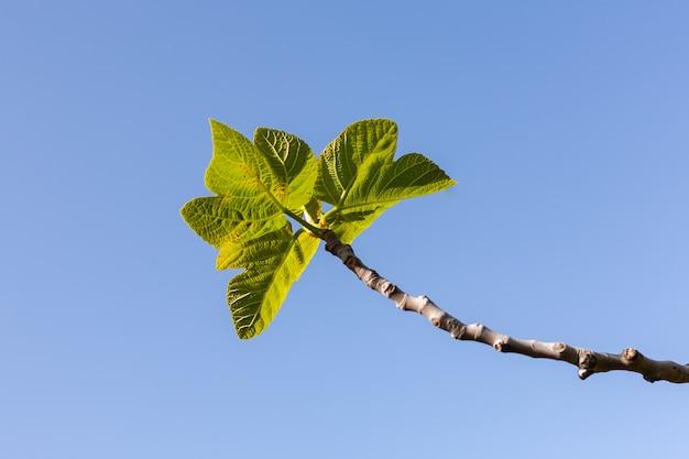 Dettaglio dei rami di fico con foglie con sfondo azzurro del cielo
