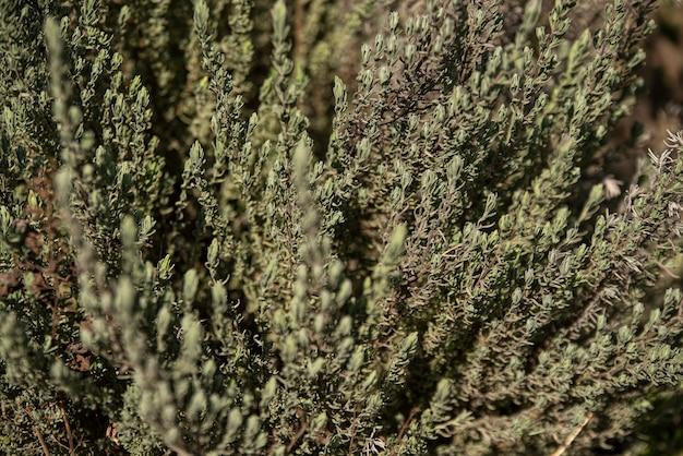 Dettaglio della trama della pianta di lavanda in natura