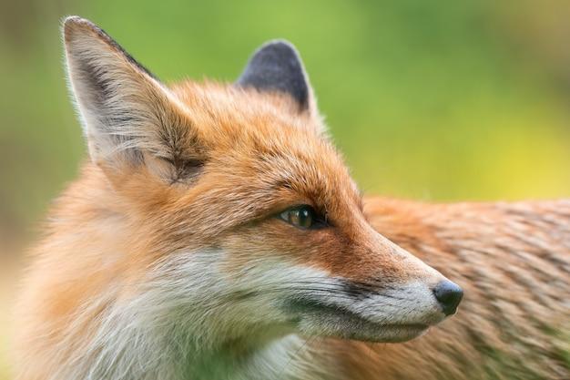 Dettaglio di ascolto volpe adulta con orecchie erette sul prato in autunno