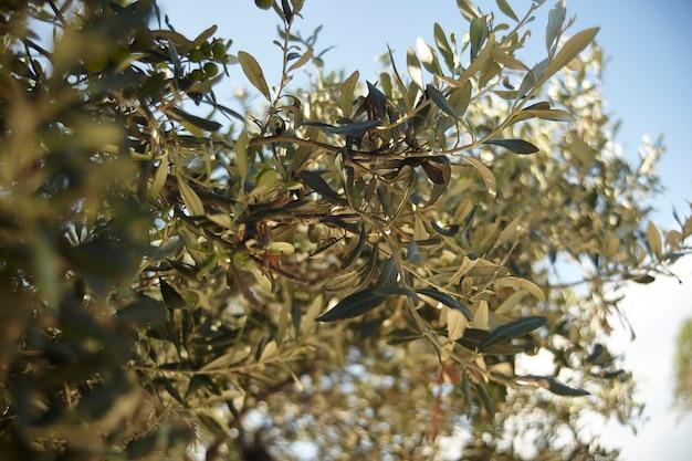 Particolare di una pianta di olivo coltivata per la produzione di olive