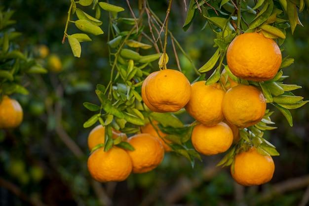 Dettaglio della frutta organica del mandarino nell'albero del cortile