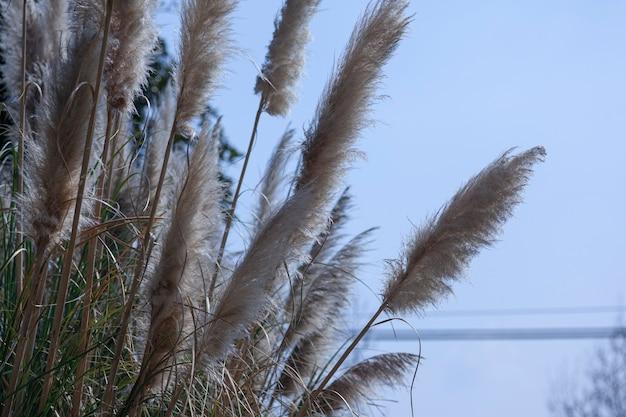 Particolare dell'erba della pampa sotto un cielo azzurro