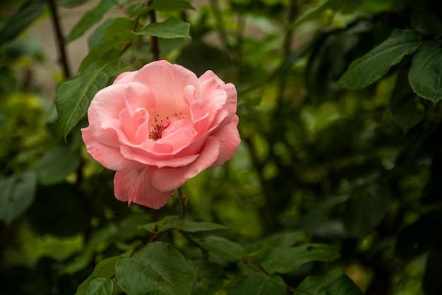 Dettaglio del fiore di rosa in natura in primavera
