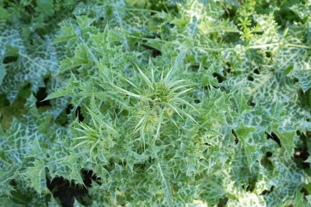Particolare delle piante di silybum in fondo naturale