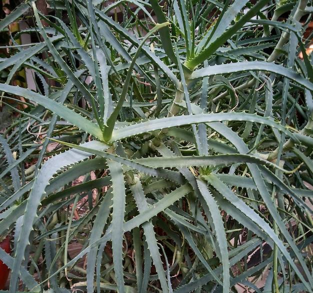 Particolare di alcune parti della pianta esotica della pianta di aloe utilizzata per la cura e il benessere dell'uomo