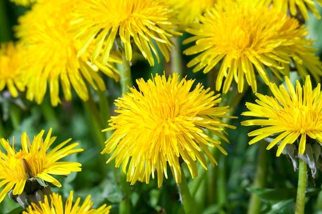 Dettagli di denti di leone gialli su un campo di primavera