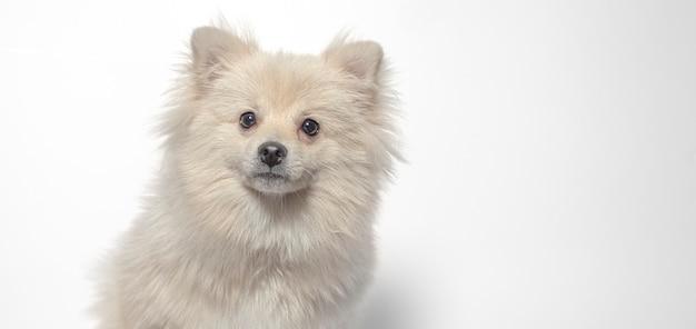 Cane di deutsche spitze su bianco