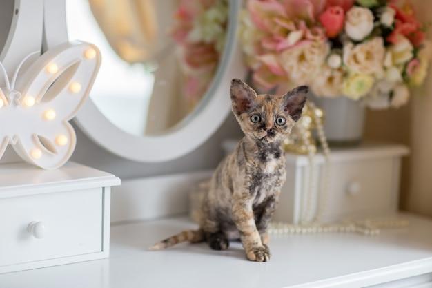 Devonrex tartaruga gattino seduto sul tavolo