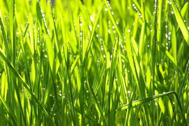 Goccia di rugiada su un filo d'erba