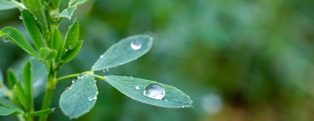 Gocce di rugiada su foglie di erba medica, natura e erba in crescita nel giardino.