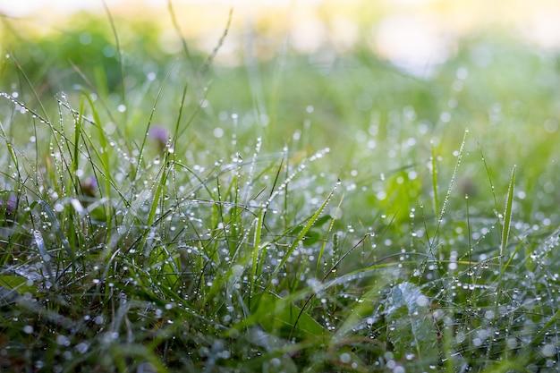 Gocce di rugiada sull'erba verde nel bosco al mattino