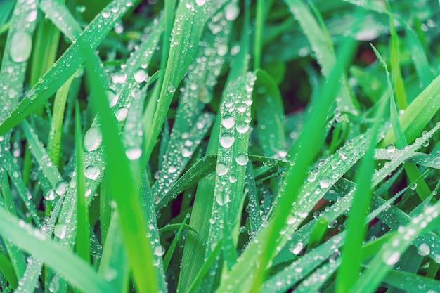 Gocce di rugiada sul primo piano succoso dell'erba verde. prato di gocce di pioggia, scena della natura. ecologia, giornata della terra, concetto di conservazione dell'acqua pulita