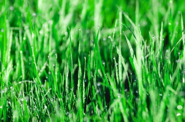 Rugiada sull'erba. bella primavera naturale sfondo sfocato. mattina nell'erba.