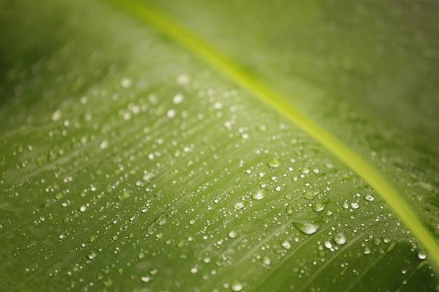 Rugiada sulle foglie verdi del banano, messa a fuoco selettiva per concentrarsi sull'importanza.