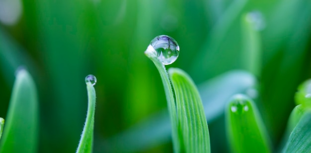 Gocce di rugiada sulle punte di una foglia d'erba, rugiada mattutina sul grano.