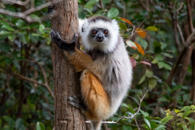 Diademed sifaka abbraccia la palma. sifaka è un genere di primati della famiglia delle indriaceae, distribuito solo nell'isola del madagascar.