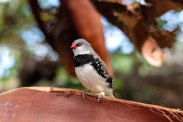 Diamond firetail o stagonopleura guttata piccolo uccello colorato seduto su un albero