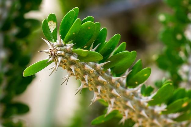 Didierea trollii è una pianta nel sud-ovest del madagascar.