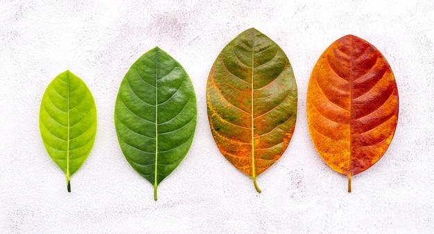 Diversa età delle foglie e colore impostato su sfondo bianco cemento. invecchiamento e concetto stagionale foglie colorate con spazio piatto e copia.