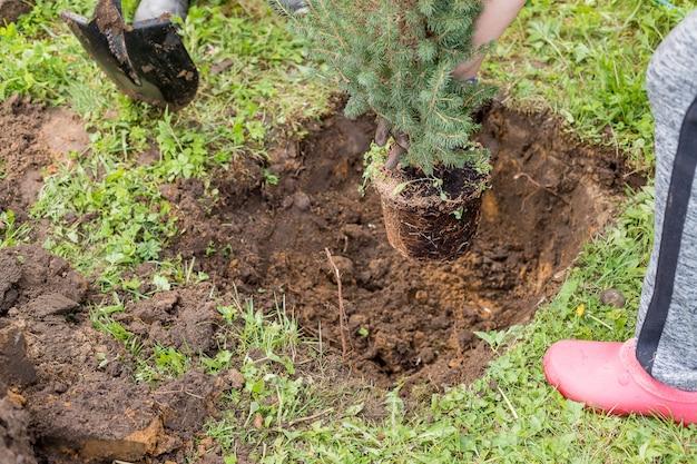Scavando, giardiniere ripiantando piccole conifere, apparato radicale, lavoro stagionale in giardino. impianto di trapianto.