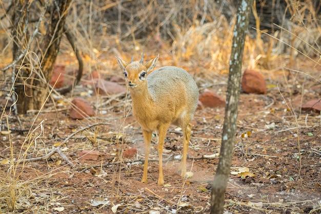 Antilope di dik dik nel parco nazionale del plateau di waterberg in namibia, africa.