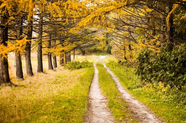 Strada sterrata attraverso il colorato bosco autunnale giallo