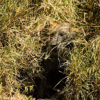 Leonessa sporca che si nasconde nella boccola, serengeti, tanzania, africa