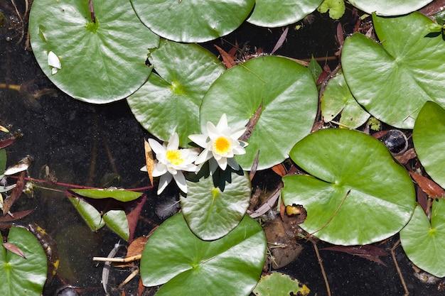 Acqua stagnante sporca con foglie verdi e ninfee bianche in fiore, primo piano in cima