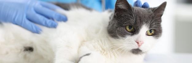 Medico in guanti di gomma accarezzando gatto sul tavolo della clinica veterinaria. concetto di trattamento per animali domestici
