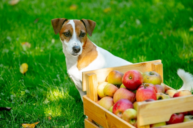 Cane accanto al cesto con mele sull'erba verde in giardino