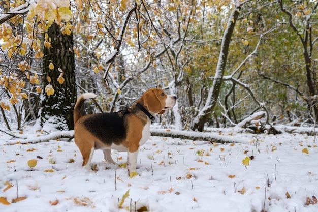 Cane beagle nel bosco innevato autunnale per una passeggiata
