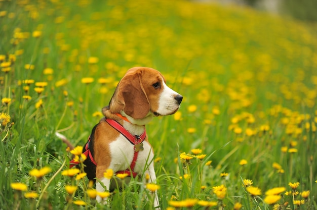 Cane beagle in una passeggiata in estate su un campo verde con denti di leone gialli.