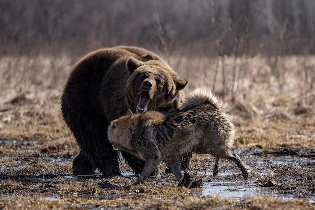 Cane e orso che combattono nella foresta