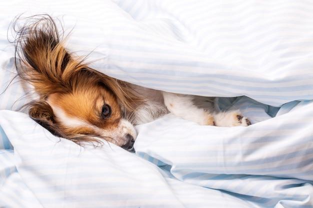 Cane a letto avvolto in una coperta, vista dall'alto