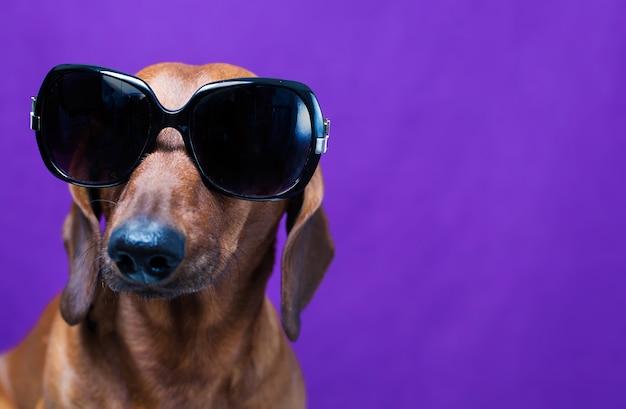 Cane in occhiali da sole neri